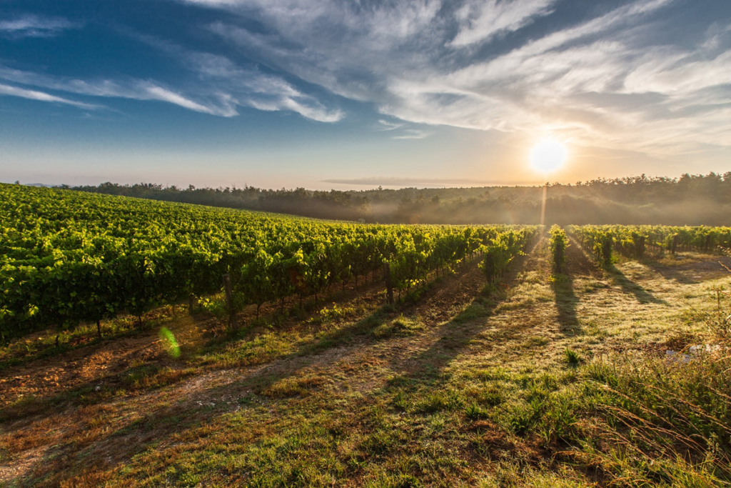 Vineyards in Tuscany. Farm house at sunset.